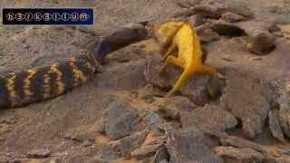 Repeat youtube video Thế giới động vật - Trận chiến giữa rắn và tắc kè