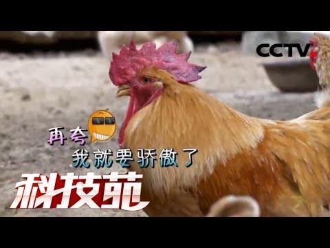 《科技苑》少吃饭 少下蛋 吊脚楼里养土鸡 20190306 | CCTV农业