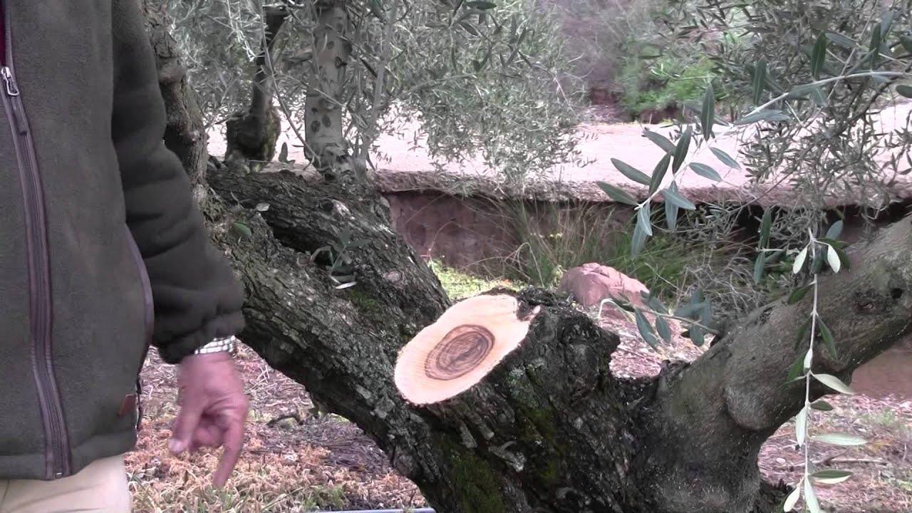 La poda de renovaci n del olivo youtube - Poda de hortensias epoca ...