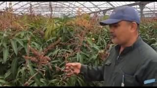 Kỹ thuật trồng xoài của người Nhật