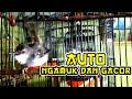 Suara Pancingan Ciblek Gacor Biar Ngamuk Dan Ngotot  Mp3 - Mp4 Download