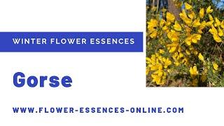 Gorse - a Winter Flower Essence