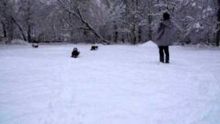 SNOW WITH BORDER COLLIES TYLDESLEY JAN 2010