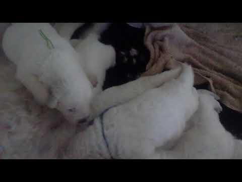 V nest Parcodaini, Maremma Sheepdog