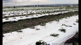 Выращивать клубнику альметьевским фермерам помогают итальянцы