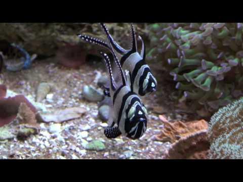 Banggai Cardinalfish P. Kauderni.