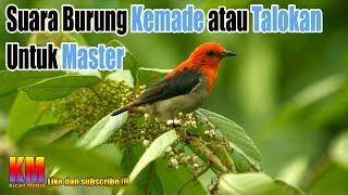 Suara Burung Kemade atau Talokan Untuk Master