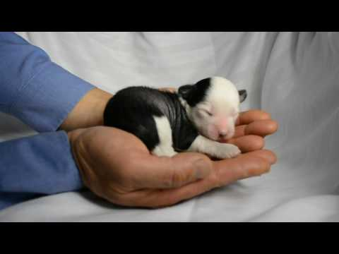 new born Chinese Crested puppy MythicKingdom hairless boy Caesar