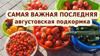 Полейте этим под томаты и перец в августе: сохранит и увеличит урожай