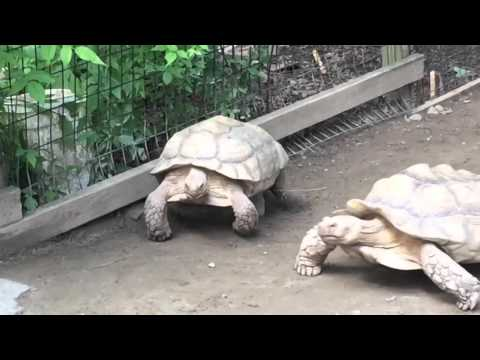 Una tortuga salvó a su amigo atrapado en una piedra