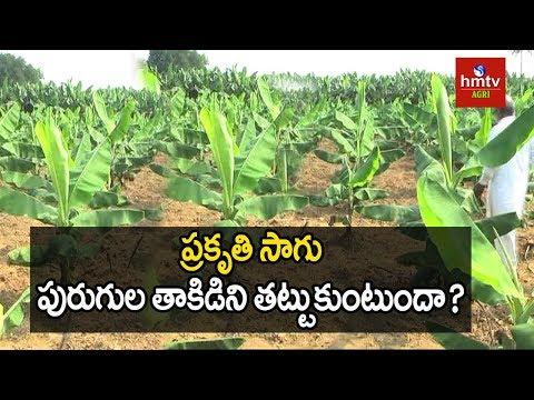ప్రకృతి సాగు పురుగుల తాకిడిని తట్టుకుంటుందా? | Natural Farming | hmtv Agri