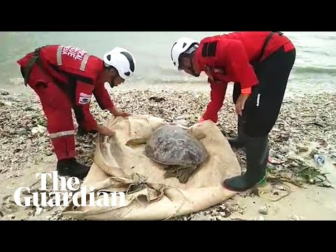 Rescuers help sea turtles washed inland during Indonesia's tsunami