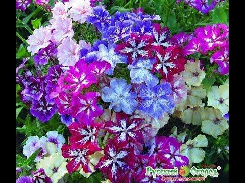 неприхотливые цветы цветущие все лето