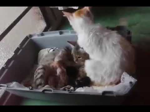 Cat father helps the mother to have her children!!!!