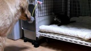 ゴールデンレトリバーと子ネコ 猫じゃらしで同じように遊んでいます(笑)