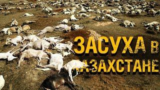 Смертельная засуха и гибель скота в Казахстане