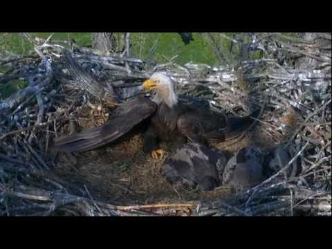 5/25/16 Bald Eagles poisoned by eating a dead rodent. Baby eagle died on camera.