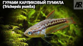 Карликовый гурами или Пумила | (Trichopsis pumila).