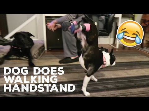 Boston Terrier Wears Boots for the First Time and does a Walking Handstand