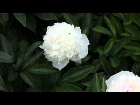 Iceberg | R2 Flowers BV | Peonies