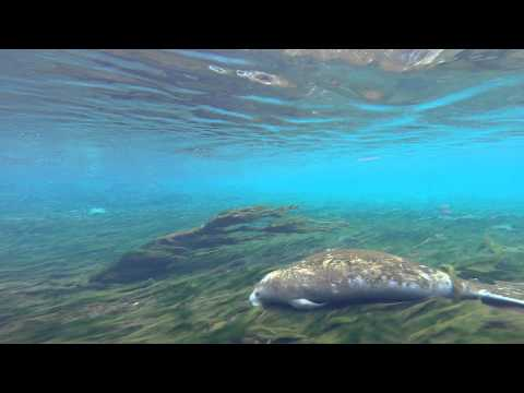 Manatees Headed into Warmer Water