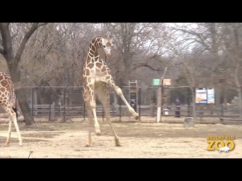 Giraffe So Excited Over Warm Weather He Adorably Jumps and Skips