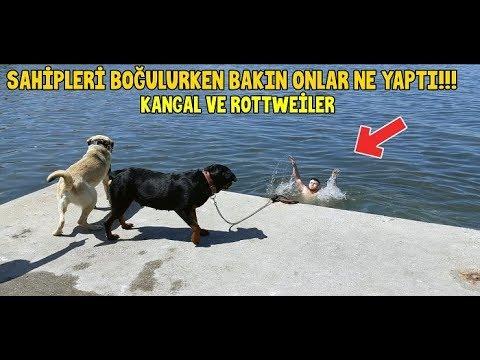 Deniz'de Sahibinin Boğulduğunu Gören Kangal ve Rottweiler Cinsi Köpeklerin Tepkisi Bakın Ne Oldu !!
