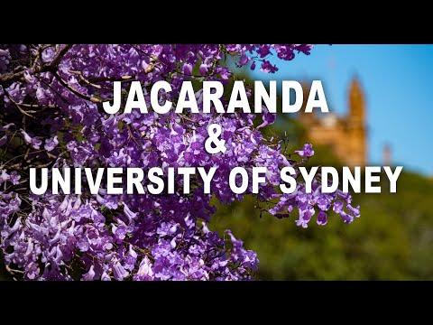 Wunderschöne Jacaranda Bäume in voller Blüte in Sydney