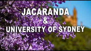 Blooming jacaranda at University of Sydney