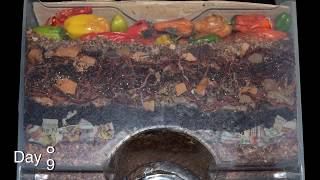 """Around the Worm Bin in 80 Days"" FAST time-lapse - Vermicomposting with Red Wigglers"