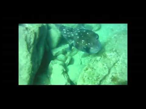 Chilomycterus Reticulatus ( Spotfin Burrfish )