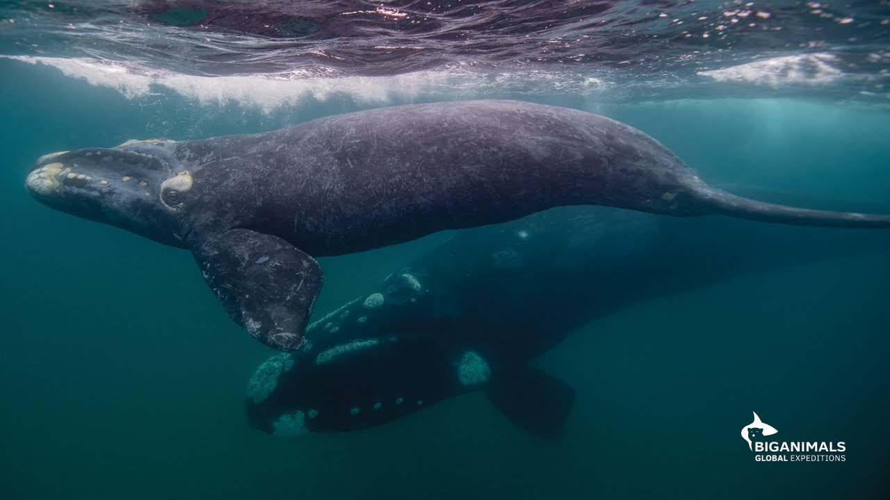 Remarkable Encounters with Southern Right Whales
