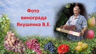 Фото винограда  Проверенные сорта винограда Якушенком В Е