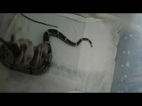 Baixar green anaconda suriname boa Colombian boa - Download