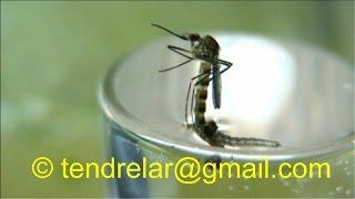 La naissance du moustique vue en accéléré