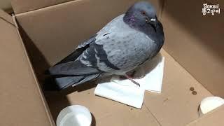 이젠 하다하다 비둘기까지 주웠다...