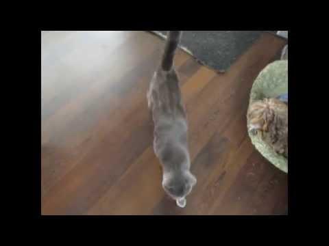 Chat intelligent/ Russian Blue cat smart