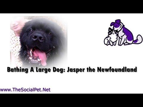 Bathing A Large Dog: Jasper the Newfoundland