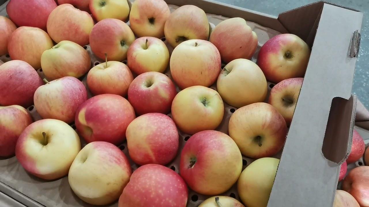 Яблоки оптом. Гала Шнига 65+ (1 сорт). РостАгроЭкспорт