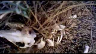 Дохлый ёж, мертвый еж или ежик +18