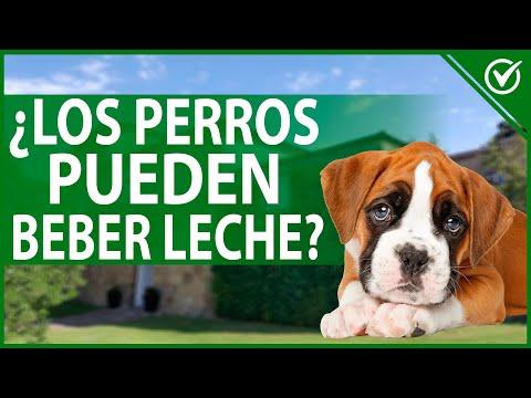 ¿Los Perros Pueden Beber Leche? 🐶 ¿Qué Leche Pueden Tomar? 🐶