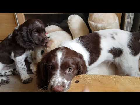 8 Week old English Springer Spaniels Puppy  Puppies  Puppys At Play