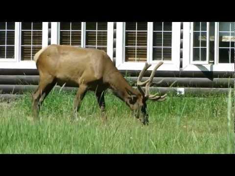 Bull Elk at Pine Bungalows, Jasper