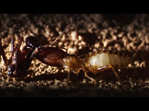 Ants Attack Termite Mounds | Natural World: Ant Attack | BBC Earth