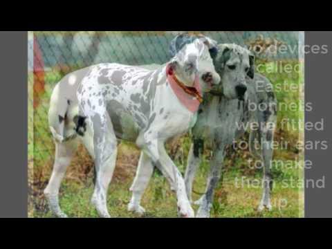 Great Dane Dog Facts