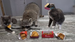 My pet raccoon and cats try chicken nuggets for the first time!