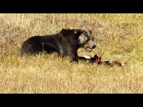 Yellowstone grizzlies and wolves on Fan Creek