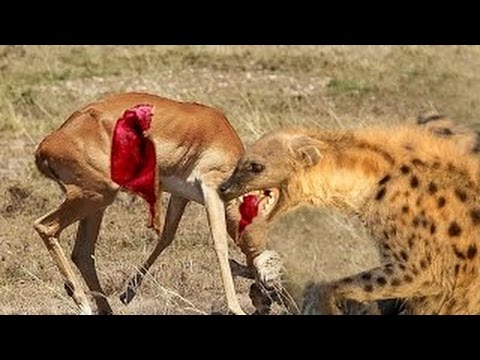 Wild Dogs Kill and Eat...