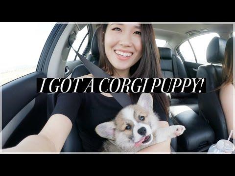 I Got A Corgi Puppy! #Vlog