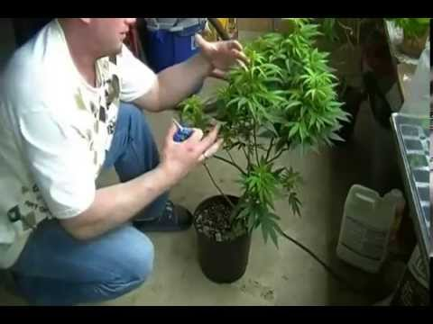 How to Train For Massive Marijuana Yields - Advanced Training For Marijuana Growers